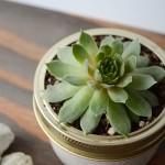 Sweet Succulent