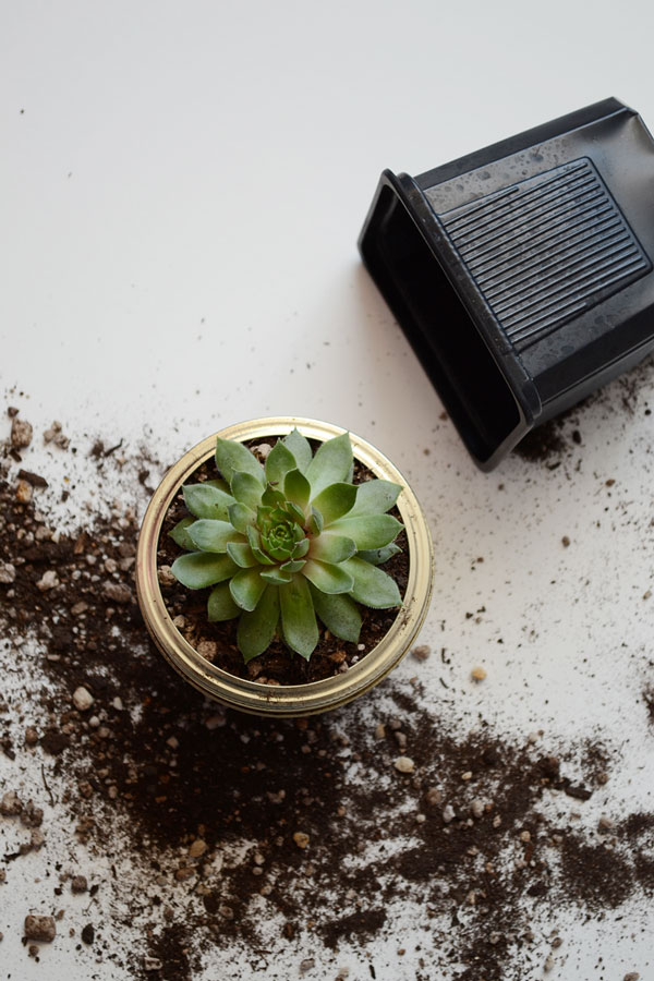 Transplanting Succulents | Storypiece.net